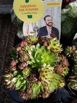 Outdoor Succulent E