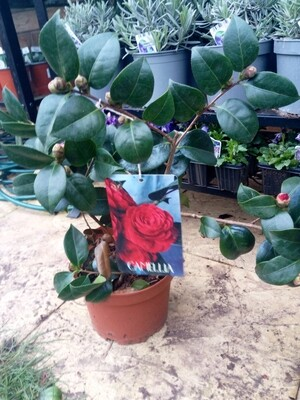 Camelia Japonica Love Red