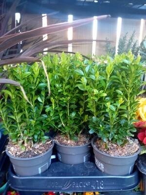 Buxus Hedge Starters 9cm pot