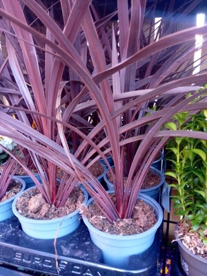 Cordyline Australis Red Star 25cm tall