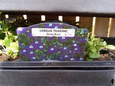 Lobelia Trailing Dark Blue 9 pack
