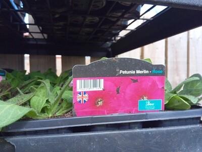 Petunia Merlin Rose 6 pack