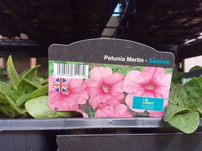 Petunia Merlin Salmon 6 pack