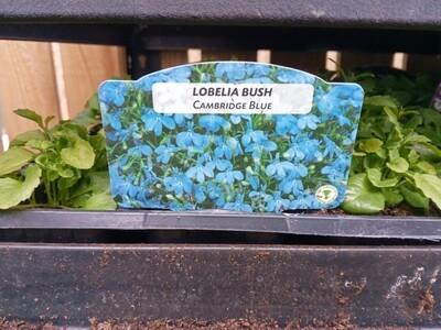 Lobelia Bush Cambridge Blue 9 pack