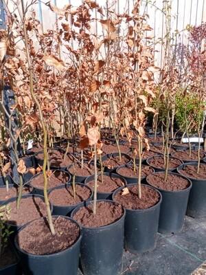 Beech tree 2.5-3.5ft