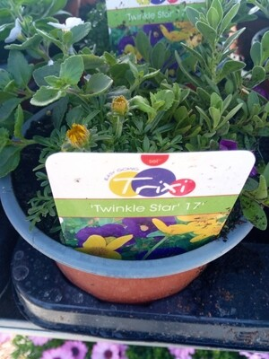 Trixis (3 in 1 pot) purple 14cm pot