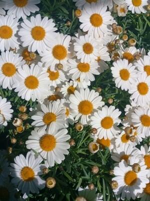 Argyranthemum 10cm pot