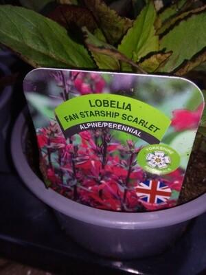 Lobelia Fan Starship Scarlet 1.5L