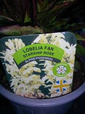 Lobelia Fan Starship Rose 1.5L
