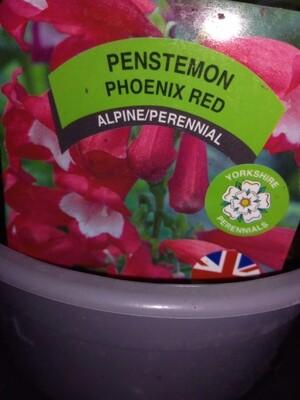 Penstemon Phoenix Red 1.5L
