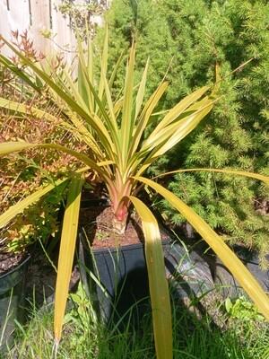 Cordyline australis 3L pot