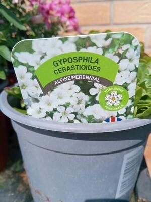 Gyposphila Cerastioides