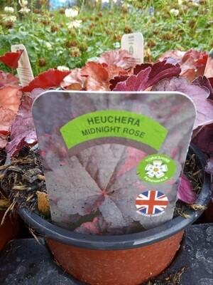 Heuchera Midnight Rose