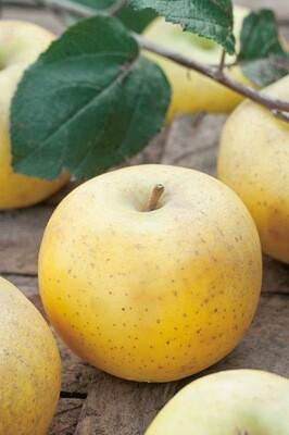 Pomme chanteclerc cat1 (le kg)