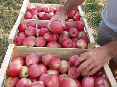 Caisse pomme Gala (13kg)