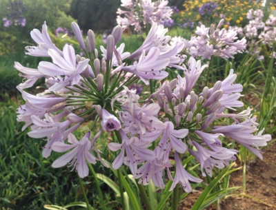 AGAPANTHUS LADY LUCK 5L