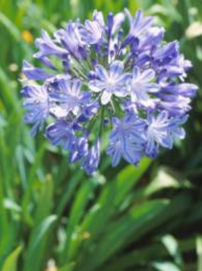 AGAPANTHUS TALL BLUE 5L