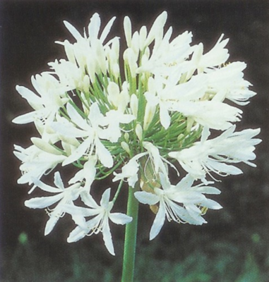 AGAPANTHUS TALL WHITE 5L