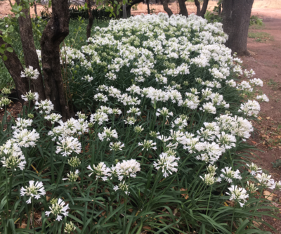 AGAPANTHUS MEDIUM WHITE 4L
