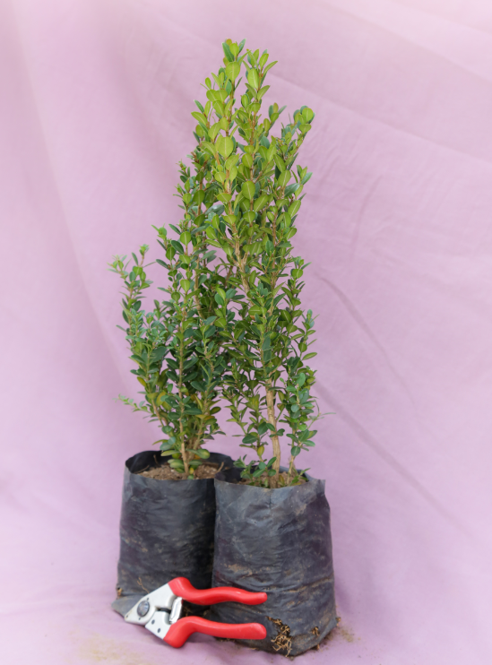 BUXUS GREEN 4L