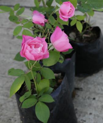 ROSE SIMPLICITY 4L