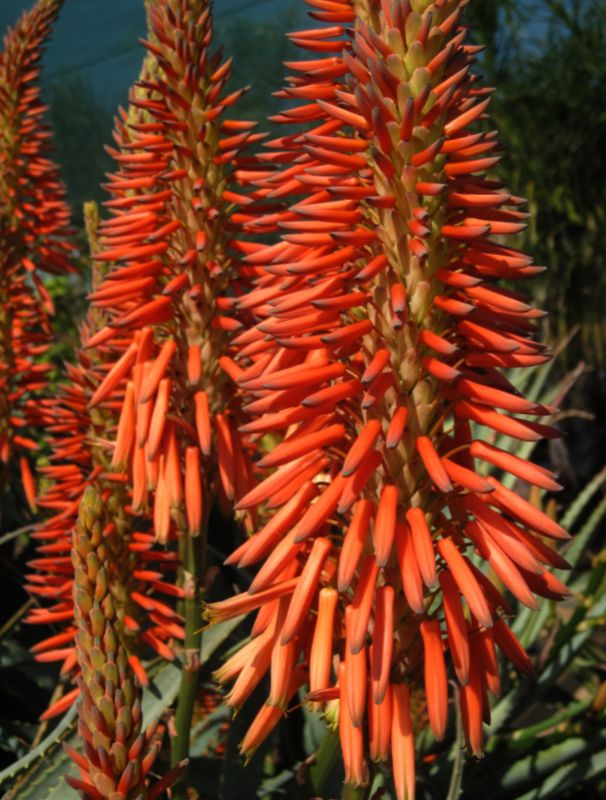 ALOE arborescens ANDYS RED 5L