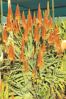 ALOE arborescens ANDYS ORANGE 15L