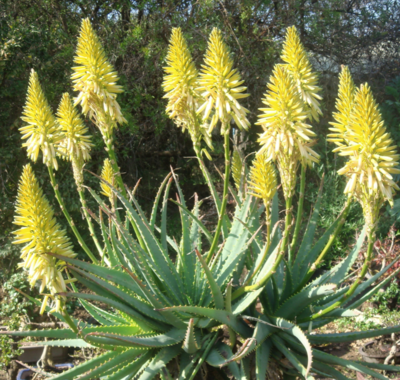 ALOE arborescens ANDYS YELLOW 15L
