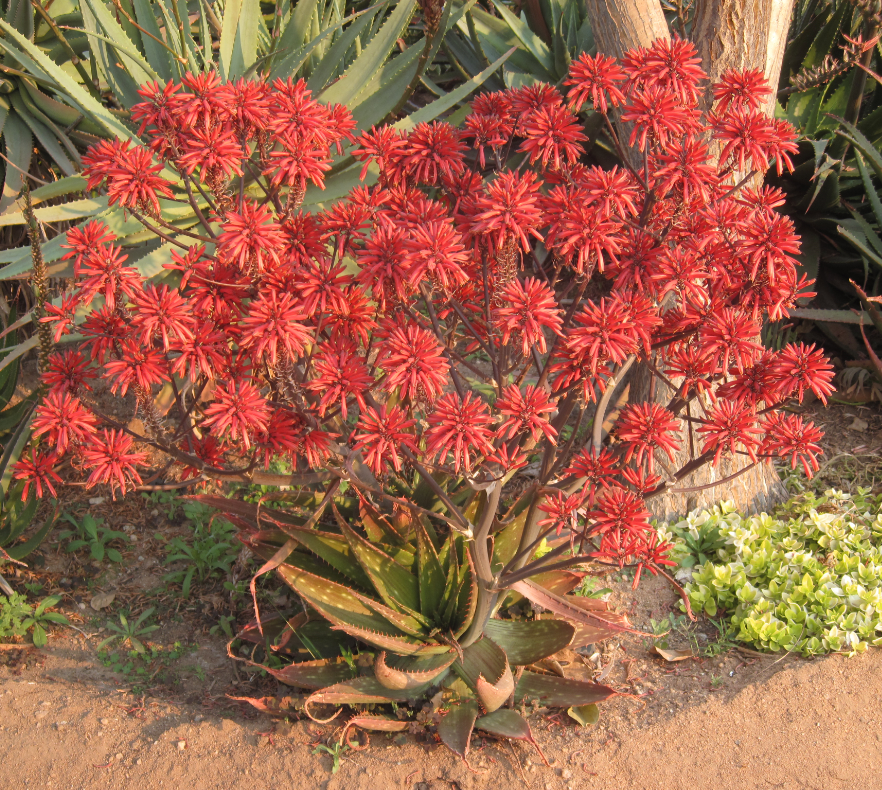 ALOE CRIMSON CLOUD 5L