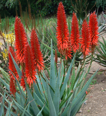 ALOE FIRE CHIEF 15L
