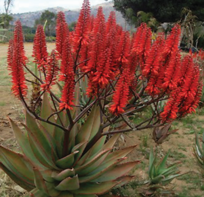 ALOE KOELEMANS RED 15L