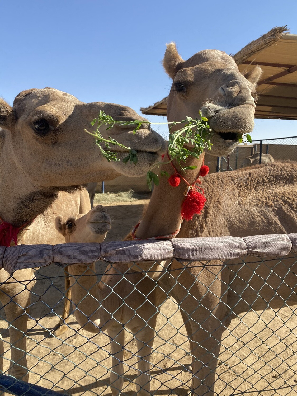 THE CAMEL FARM & EVENING DESERT SAFARI   220 AED
