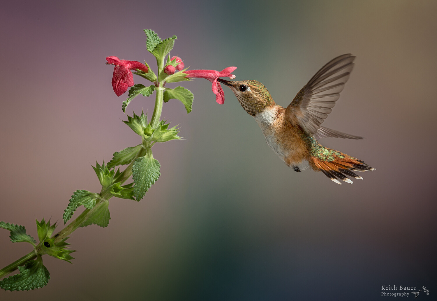 Special Guest Series- Photographing Hummingbirds with Keith Bauer