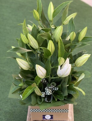 White Lily Box