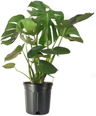 """10"""" Philodendron Monstera"""