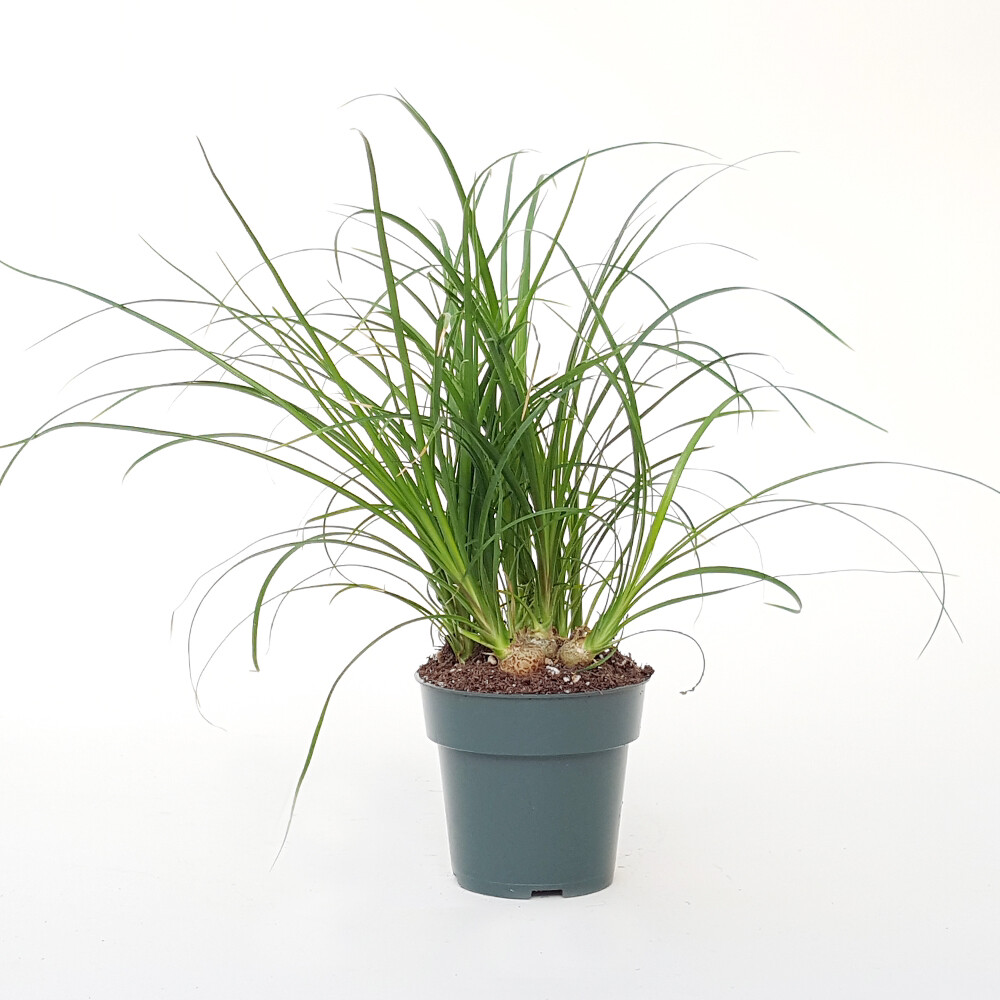 "4"" Ponytail Palm"