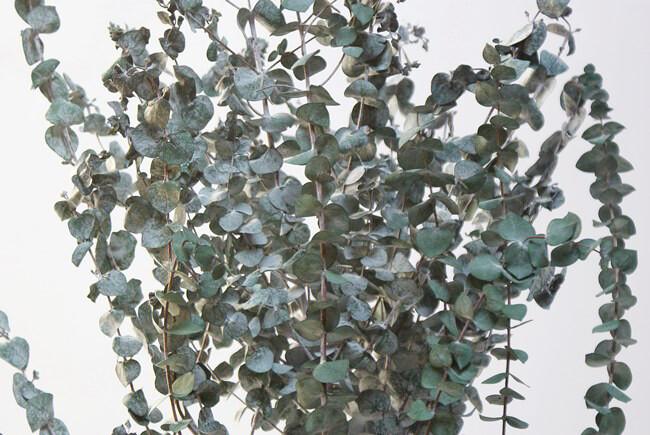 Preserved Spiral Eucalyptus