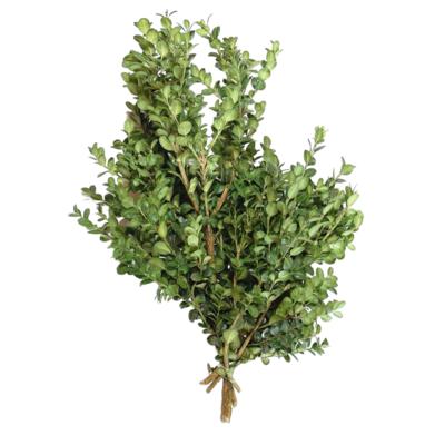Big Leaf Boxwood