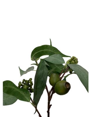 """25"""" Eucalyptus Seed Spray"""