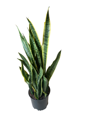 """8"""" Snake Plant"""
