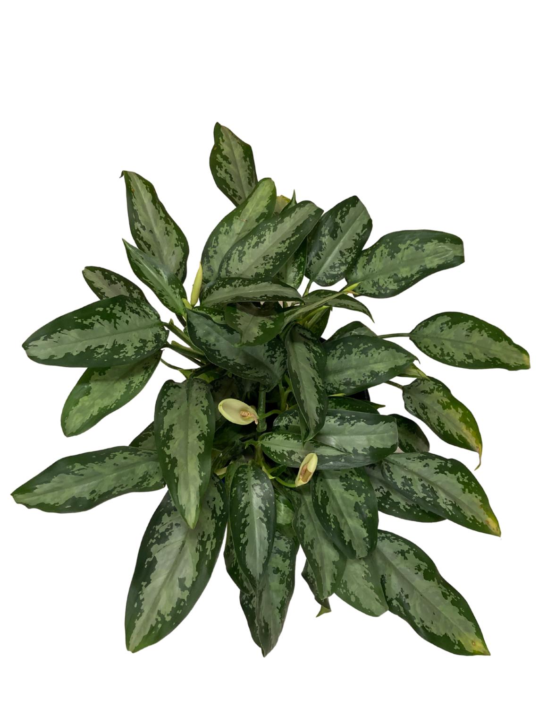Chinese Evergreen - Jubilee