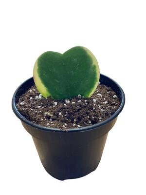 "4"" Hoya Heart Leaf Variegated"