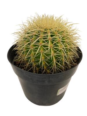"""8"""" Barrel Cactus"""