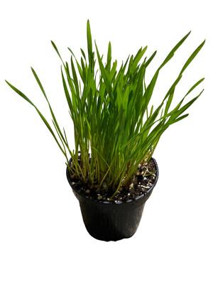 """4"""" Wheat Grass"""