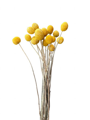 """Billy Buttons Yellow 28"""""""