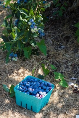 OUR OWN Blueberries - Pint