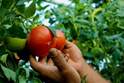 OUR OWN - Tomatoes - Per Pound