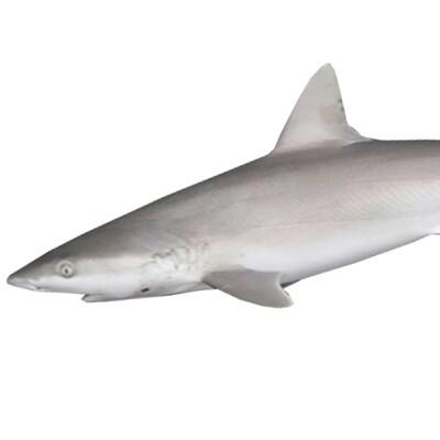 BABY SHARK / SRAVU/(Per kg)