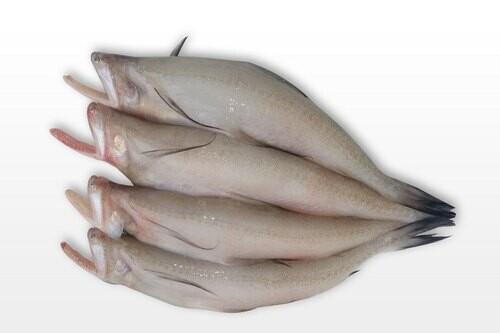 BOMBAY DUCK FISH(PER KG)
