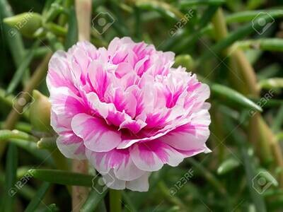Portulaca Mixed Seeds (30 seeds)
